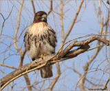 Red-tailed Hawk 154