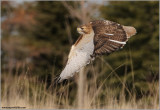 Red-tailed Hawk in flight 155