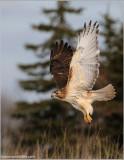 Red-tailed Hawk in Flight 156