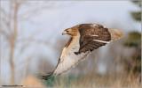 Red-tailed Hawk in Flight 157