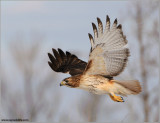 Red-tailed Hawk in Flight 158