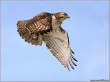 Red-tailed Hawk in Flight 160