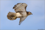 Red-tailed Hawk in Flight 161