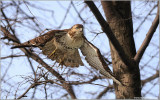 Red-tailed Hawk in Flight 162