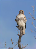 Red-tailed Hawk 163