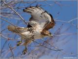 Red-tailed Hawk in Flight 164