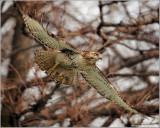 Red-tailed Hawk in Flight 165