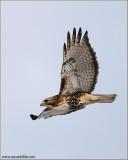 Red-tailed Hawk in Flight 167