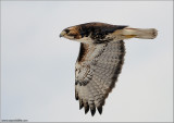 Red-tailed Hawk in Flight 168