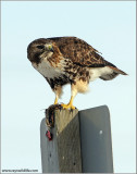 Red-tailed Hawk with lunch 170