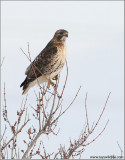 Red-tailed Hawk 171