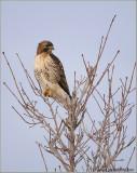 Red-tailed Hawk in Flight 172