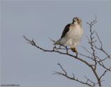 Red-tailed Hawk in Flight 174