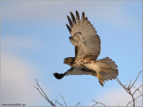 Red-tailed Hawk in Flight 175