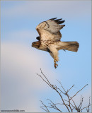 Red-tailed Hawk in Flight 176
