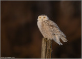 Snowy Owl Perched 31