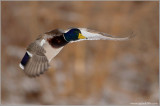 Mallard in Flight 46