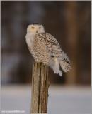Snowy Owl Hunting 33