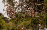 2 Short-eared Owls Hunting 44