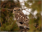 Short-eared Owl Hunting 45