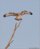 Rough-legged Hawk Landing 1