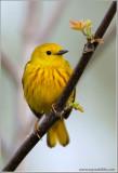Yellow Warbler 28