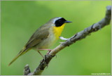 Common Yellowthroat 13