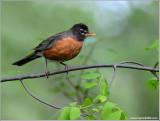 American Robin 19