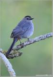 Gray Catbird 8