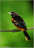 Baltimore Oriole 8