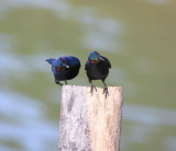 Asian Glossy Starling