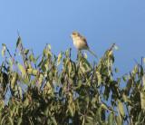 Brown Shrike Juvenile