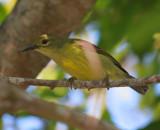 Brown-throated Sunbird Female