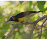 Brown-throated Sunbird Male