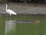 Great Egret and Malayan Water Monitor