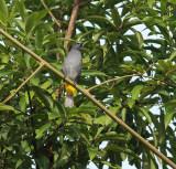 Grey-bellied Bulbul