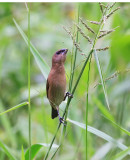 Scaly-breasted Munia Juvenile