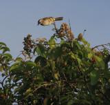 Yellow-vented Bulbul