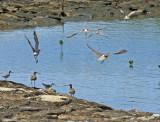 Whimbrel, Common Redshank and Common Sandpiper