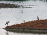 Grey Herons and Great Egret