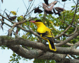 Black-naped Oriole, male