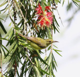 Brown-throated Sunbird, female