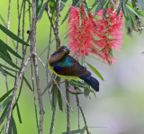 Brown-throated Sunbird, male