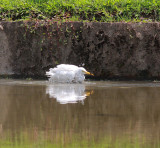 Cattle Egret cooling off