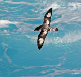 Cape Petrel, or Pintado