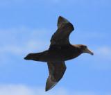 Southern Giant Petrel, juvenile