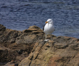 Kelp Gull in breeding plumage