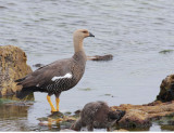 Upland Goose, female