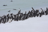 Magellanic Penguins, non breeders & immatures
