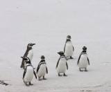 Magellanic Penguins,  4 non-breeders, 2 immatures